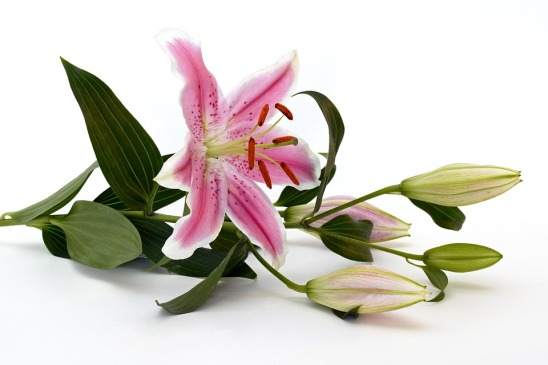 lily-2044518_960_720